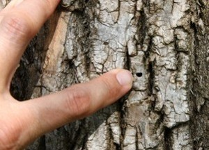 Distinct D-shaped exit holes in bark