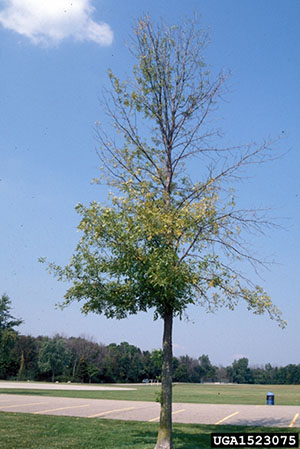 Thinning canopy of the tree.  - Daniel Herms, The Ohio State University, Bugwood.org