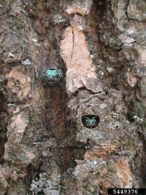 Emerald Ash Borer adults chew D-shaped emergence holes to exit from ash trees.  - Debbie Miller, USDA Forest Service, Bugwood.org