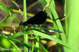 Ebony Jewel Damselfly