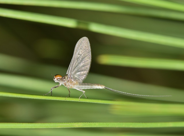 Mayfly Image by Brett Hopndow and hosted on Pixabay.
