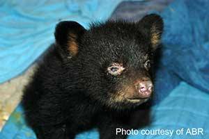 This bear cub has a blind eye and is an example of an unhealthy cub.
