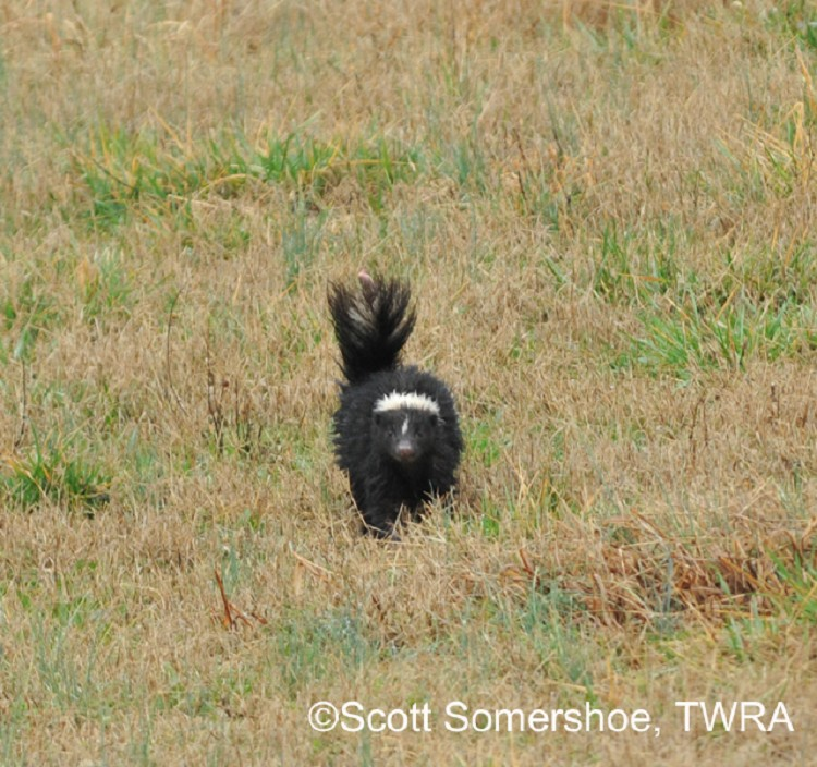 Striped Skunk - State of Tennessee, Wildlife Resources Agency