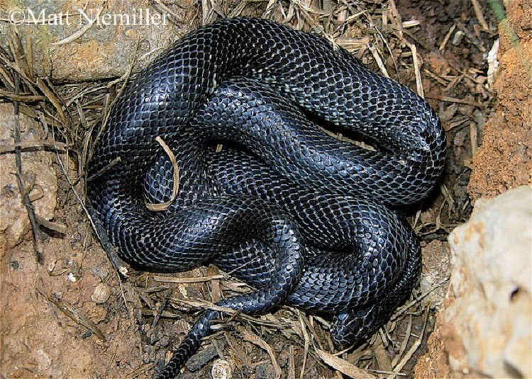 Common Kingsnake State Of Tennessee Wildlife Resources Agency