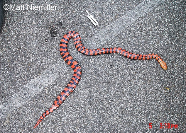 Red-bellied Mudsnake Farancia abacura