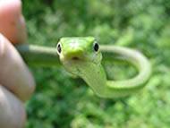 Amphibian Monitoring Program - snake