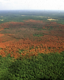 Southern Pine Beetle 1