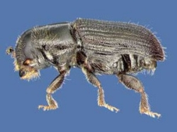 Southern Pine Beetle 3