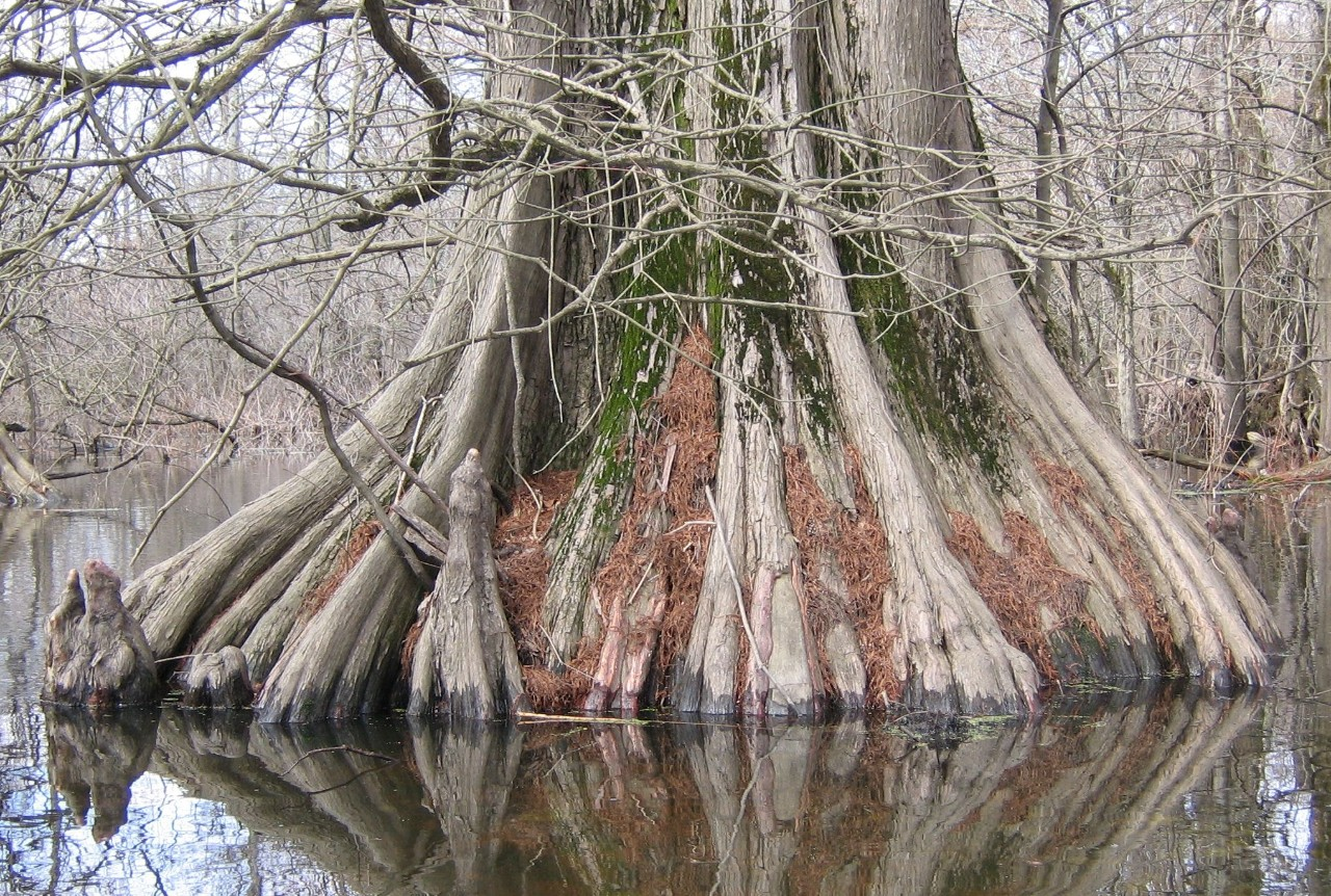 Sunk Lake Cypress