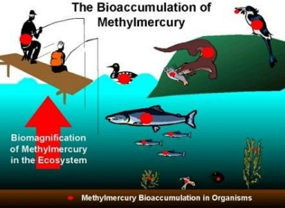The Bioaccumulation of Methylmercury