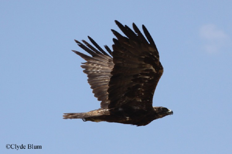 Golden Eagle, Aquila chrysaetos, Adult in flight. Photo Credit: Clyde Blum
