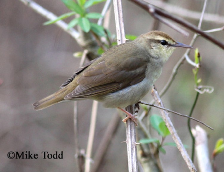 Swainson S Warbler State Of Tennessee Wildlife