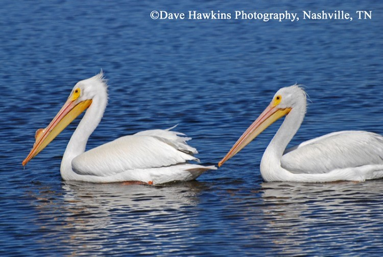 American White Pelican, Pelecanus erythrorhynchos, Adults. Photo Credit: Dave Hawkins
