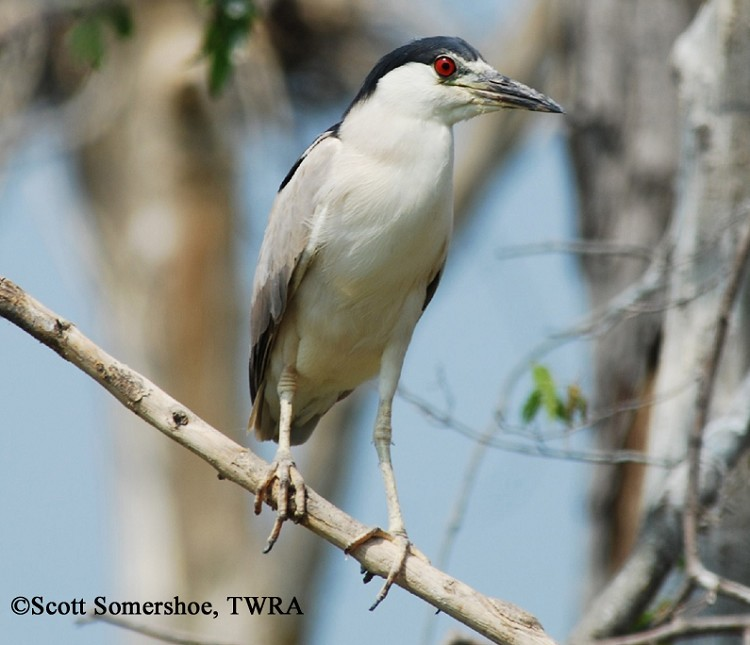 Black-crowned Night-Heron, Nycticorax nycticorax, Adult. Photo Credit: Scott Somershoe