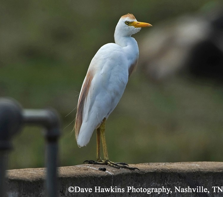 Cattle Egret, Bubulcus ibis, Breeding plumage. Photo Credit: Dave Hawkins