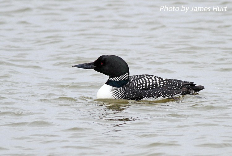 Common Loon, Gavia immer, adult in breeding plumage. Photo Credit: James Hurt