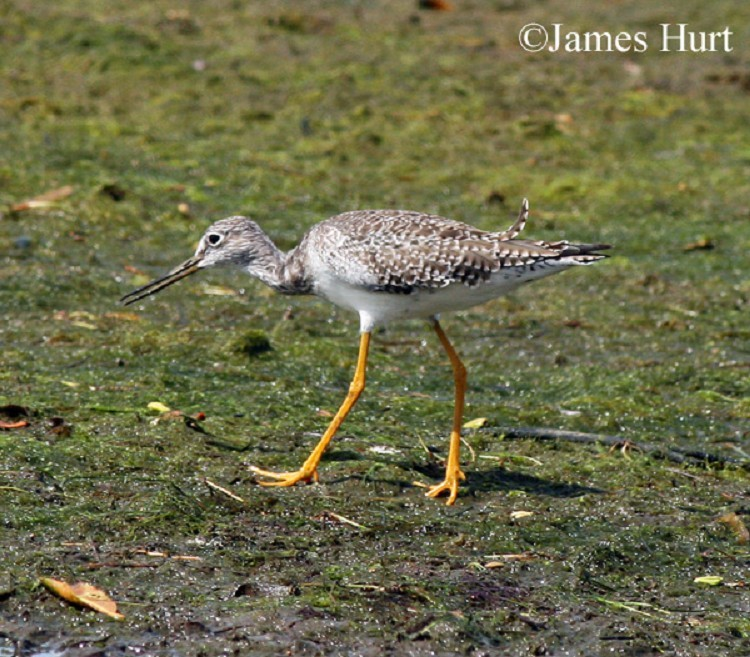 Greater Yellowlegs, Tringa melanoleuca, Adult. Photo Credit: James Hurt
