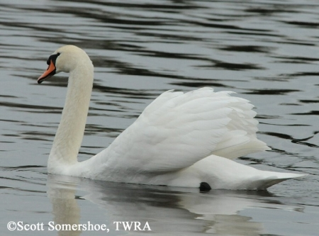 Mute Swan Cygnus olor, Adult. Photo Credit: Scott Somershoe