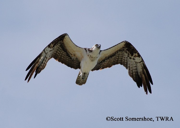 Osprey, Pandion haliaetus, in flight. Photo Credit: Scott Somershoe
