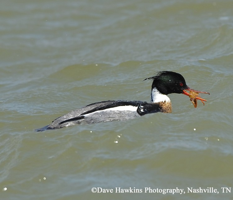 Red-breasted Merganser, Mergus serrator. Photo Credit: Dave Hawkins