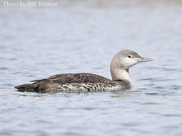Red-throated Loon, Gavia stellate, Typical winter plumage. Photo Credit: Bill Bouton