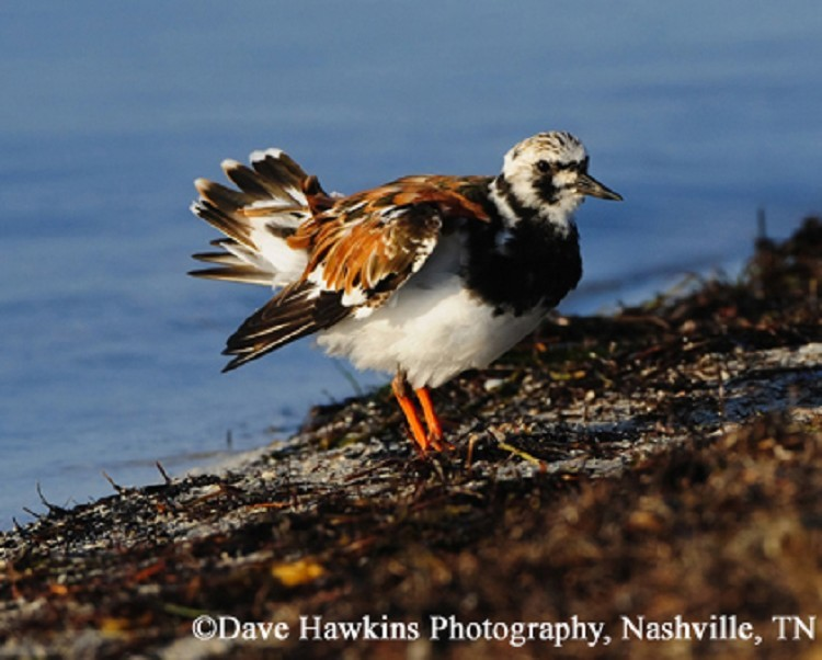 Ruddy Turnstone Breeding adult