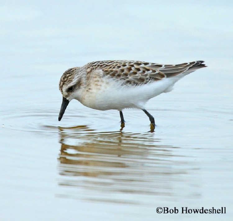 Semipalmated Sandpiper, Calidris pusilla, Adult breeding plumage.  Photo Credit: Bob Howdeshell