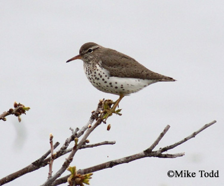 Spotted Sandpiper, Actitis macularius, Breeding plumage, Photo Credit: Mike Todd