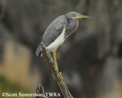 Tricolored Heron, Egretta tricolor. Photo Credit: Scott Somershoe