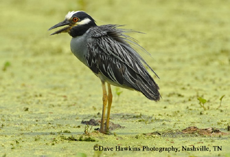 Yellow-crowned Night-Heron, Nyctanassa violacea, Photo Credit: Dave Hawkins