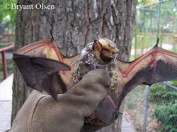 Tennessee Bat Working Group web page