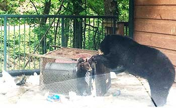 bear getting into recyclable container
