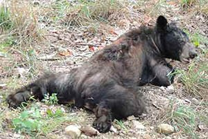 Injured Black Bear