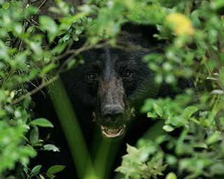 Black bear peeking through greenery