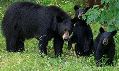 Bears Breeding In Back Of Truck