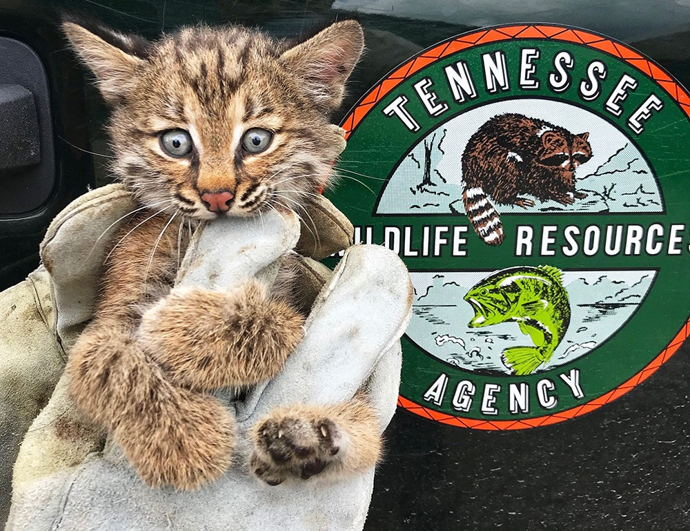 Shelby County wildlife officer Andy Tweed rescued a bobcat kitten stuck behind a pool pump in Collierville.