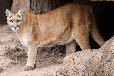 Cougars in Tennessee | State of Tennessee, Wildlife Resources Agency