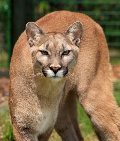 Cougar, image from pixabay