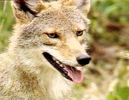 Coyotes | State of Tennessee, Wildlife Resources Agency