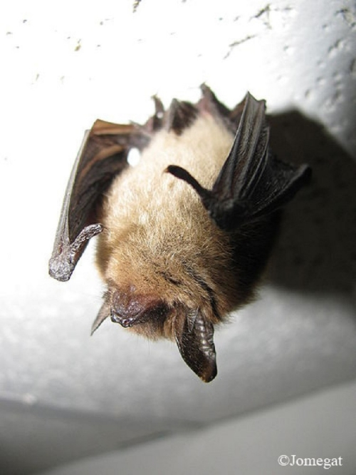 northern-long-eared-bat_750x1000