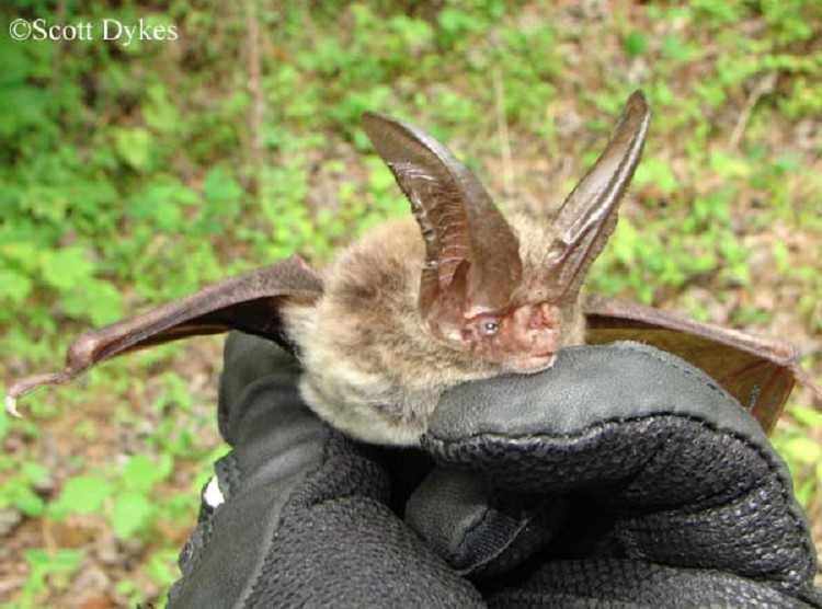 rafinesque-big-eared-Bat