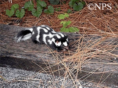 eastern-spotted-skunk_760x562