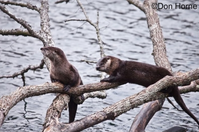 Northern-American-River-Otter_750x499