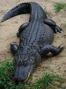American Alligator, Photo Credit: Wikipedia