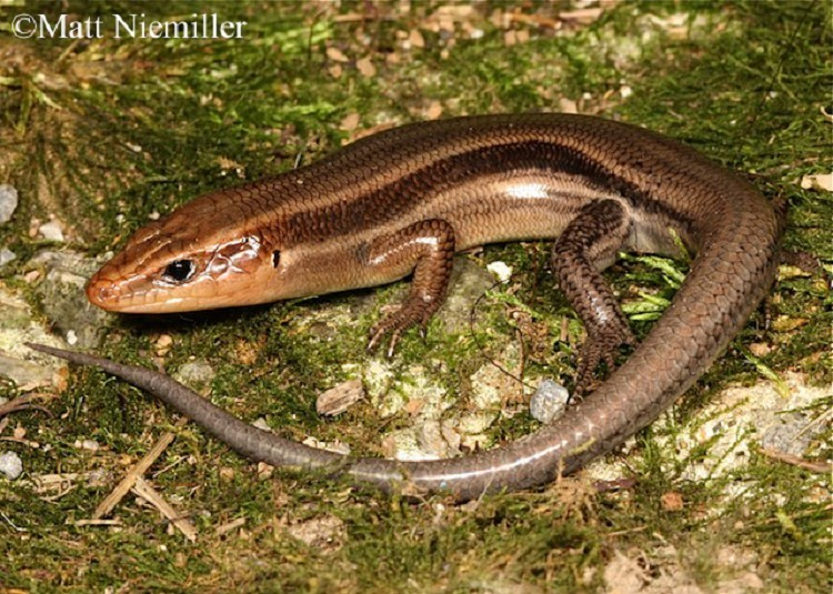 common-five-lined-skink