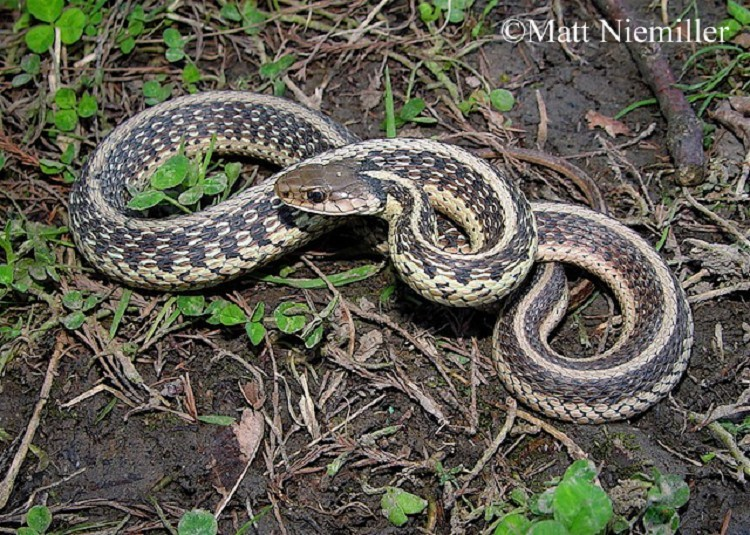 Common Gartersnake | State of Tennessee, Wildlife Resources