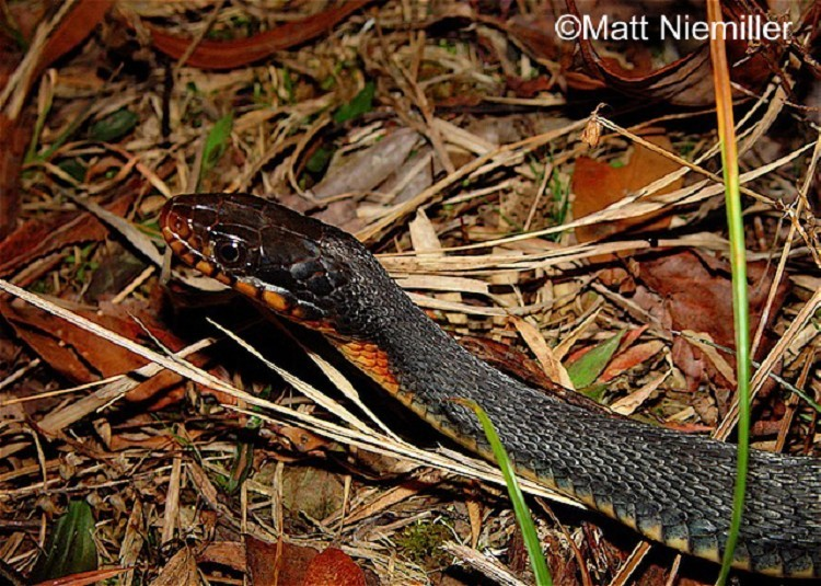 Plain Bellied Watersnake State Of Tennessee Wildlife Resources Agency