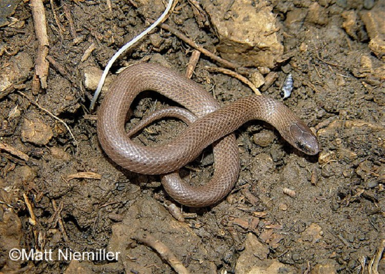 Smooth Earthsnake State Of Tennessee Wildlife Resources