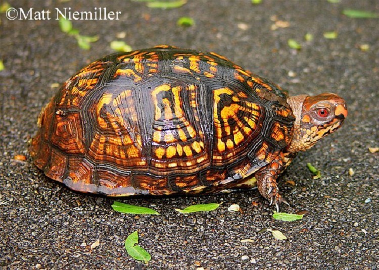 Eastern Box Turtle State Of Tennessee Wildlife Resources Agency