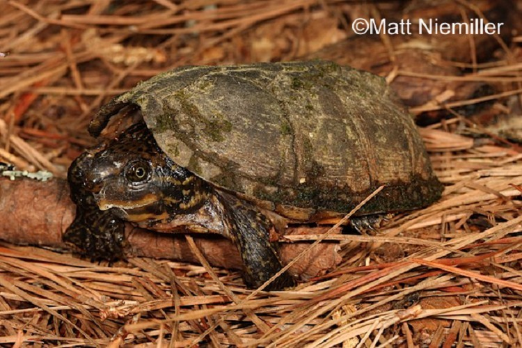 Striped-necked Musk Turtle